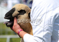 Press Eye - Belfast - Northern Ireland - 15th May 2019. First day of the Balmoral Show, in partnership with Ulster Bank: Sheep showing during the show at Balmoral Park outside Lisburn. . Picture by Jonathan Porter/PressEye