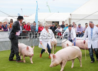 Press Eye - Belfast - Northern Ireland - 15th May 2019. First day of the Balmoral Show, in partnership with Ulster Bank. Show pigs are brought out for their competition at Balmoral Park outside Lisburn. . Picture by Jonathan Porter/PressEye. .
