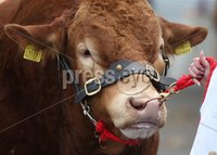 PressEye-Northern Ireland- 15th May  2019-Picture by Brian Little/PressEye. Cattle judging taking place  at Balmoral Park during the first day of the Balmoral Show 2019. Picture by Brian Little/PressEye