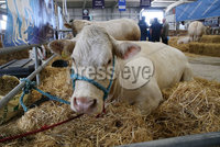 PressEye-Northern Ireland- 16th May 2018-Picture by Brian Little/ PressEye. Charolais cattle waiting to be judged  on the  First day of the 2018 Balmoral Show, in partnership with Ulster Bank, at Balmoral Park. Picture by Brian Little/PressEye