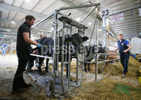 Press Eye - Belfast - Northern Ireland - 16th May 2019. Day two of the Balmoral Show in partnership with Ulster Bank at Balmoral Park outside Lisburn.  Getting the cattle ready before the day begins at the show. .  . Picture by Jonathan Porter/PressEye