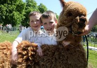 Northern Ireland- 27th May 2012 Mandatory Credit - Photo-Jonathan Porter/Presseye.   The National Countrysports Fair at Moria Demesne.  Darragh Gallagher(6) and his older brother Tiarnan(7) from Castlewellan with their alpaca.