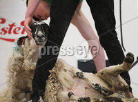 PressEye-Northern Ireland- 16th May 2018-Picture by Brian Little/ PressEye. Matthew Robinson from Gleno Valley YFC competing in the Novice class of the Sheep Shearing competition  on the  First day of the 2018 Balmoral Show, in partnership with Ulster Bank, at Balmoral Park. Picture by Brian Little/PressEye
