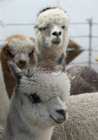 PressEye-Northern Ireland- 15th May  2019-Picture by Brian Little/PressEye. Alpacas  at Balmoral Park during the first day of the Balmoral Show 2019. Picture by Brian Little/PressEye