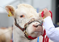 Press Eye - Belfast - Northern Ireland - 15th May 2019. First day of the Balmoral Show, in partnership with Ulster Bank. Show cattle are brought out for their competition at Balmoral Park outside Lisburn. . Picture by Jonathan Porter/PressEye. .