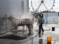 PressEye-Northern Ireland- 16th May 2018-Picture by Brian Little/ PressEye. Conor Savage from Castlewellen preparing his Blondie cattle  during the First day of the 2018 Balmoral Show, in partnership with Ulster Bank, at Balmoral Park. Picture by Brian Little/PressEye