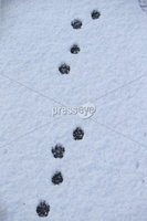 Press Eye - Belfast - Northern Ireland - 12th February 2020. Northern Ireland sees some overnight snowfall.  Animal tracks on the Newtownbreda Road in south Belfast. . Picture by Jonathan Porter/PressEye