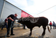 Press Eye - Belfast - Northern Ireland - 15th May 2019. First day of the Balmoral Show, in partnership with Ulster Bank.  Ernest Gregg from Ballybollem Pedigree Livestock farm in Randalstown, Co. Antrim, pictured with his two-year-old bull Moore at Balmoral Park outside Lisburn. .  . Picture by Jonathan Porter/PressEye