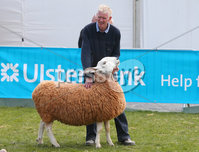 Press Eye - Belfast - Northern Ireland - 16th May 2019. Day two of the Balmoral Show in partnership with Ulster Bank at Balmoral Park outside Lisburn. Sheep showing at the show. .  . Picture by Jonathan Porter/PressEye
