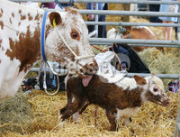 Press Eye - Belfast - Northern Ireland - 16th May 2019. Day two of the Balmoral Show in partnership with Ulster Bank at Balmoral Park outside Lisburn.  A cow and its one-hour-old calf which was born at the show. .  . Picture by Jonathan Porter/PressEye