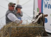 PressEye-Northern Ireland- 16th May 2018-Picture by Brian Little/ PressEye. Goats at the open farm during the  First day of the 2018 Balmoral Show, in partnership with Ulster Bank, at Balmoral Park. Picture by Brian Little/PressEye
